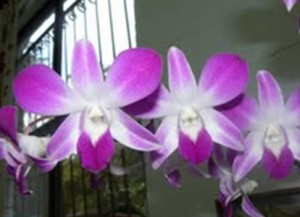 And Eric's Hard-cane Dendrobium