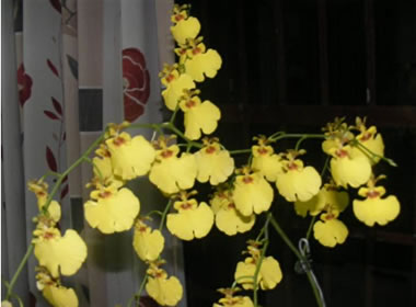 Sue William's lovely Oncidium which won the popular vote for the night.