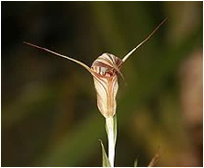 Pterostylis similar to those shown in Doug's talk