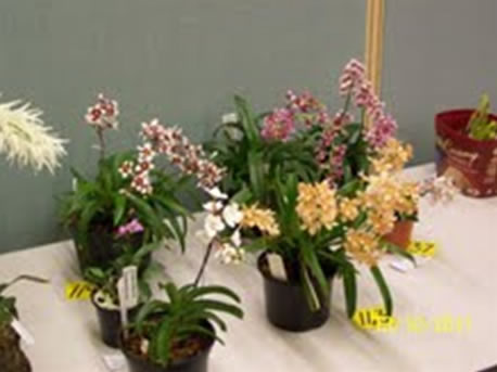 Some Sarchochilus – interesting to see the range of colours.