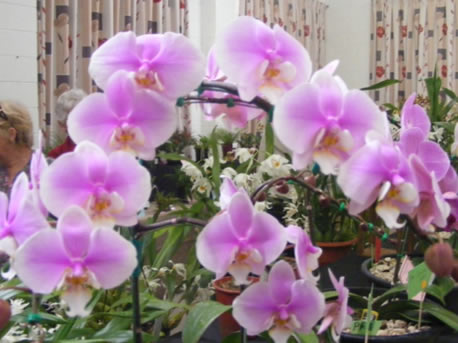 A lovely Phalaenopsis.