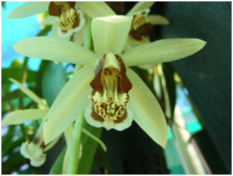 There are some Coelogyne tomentosas in flower now.  This species quickly develops into large plants with many flowers cascading down from the pot.