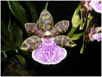 Zygopetalums are becoming increasing popular.