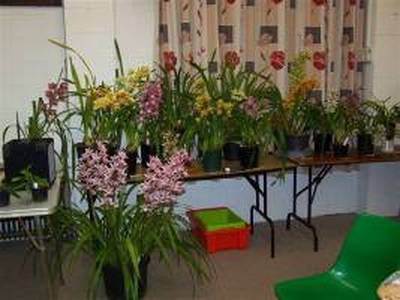 Some of the lovely Cymbidiums on display at our July meeting (thanks to Clem for the photo)