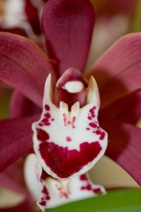 A nice dark Cymbidium flower