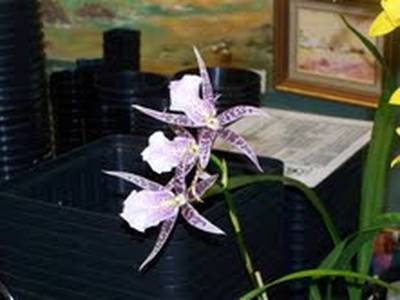 A Miltassia on our monthly competition bench in April.  Thanks to Clem Murray for the photos included in this newsletter.