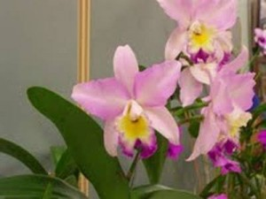 A nice Laelia alliance orchid at our last meeting.