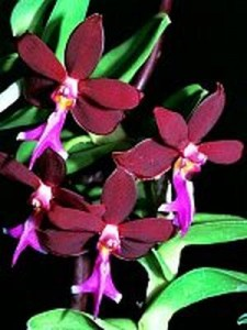 Ivy's well grown Trichoglottis which won popular vote.